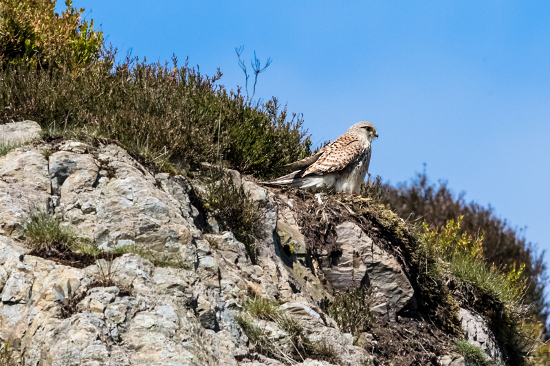 Kestrel on rock near Light Spout - Upland, Shropshire's Long Mynd & Stiperstones