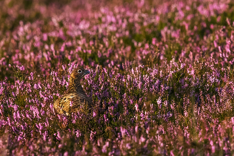 Red Grouse in the heather - Wilderland, Wildlife & Wonder from the Shropshire Borders