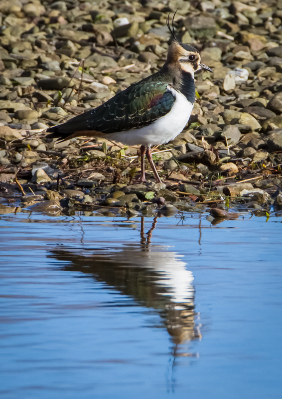 Lapwing reflection, Venus Pool - Wilderland, Wildlife & Wonder from the Shropshire Borders