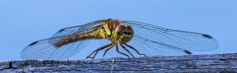 Dragonfly - Abroad