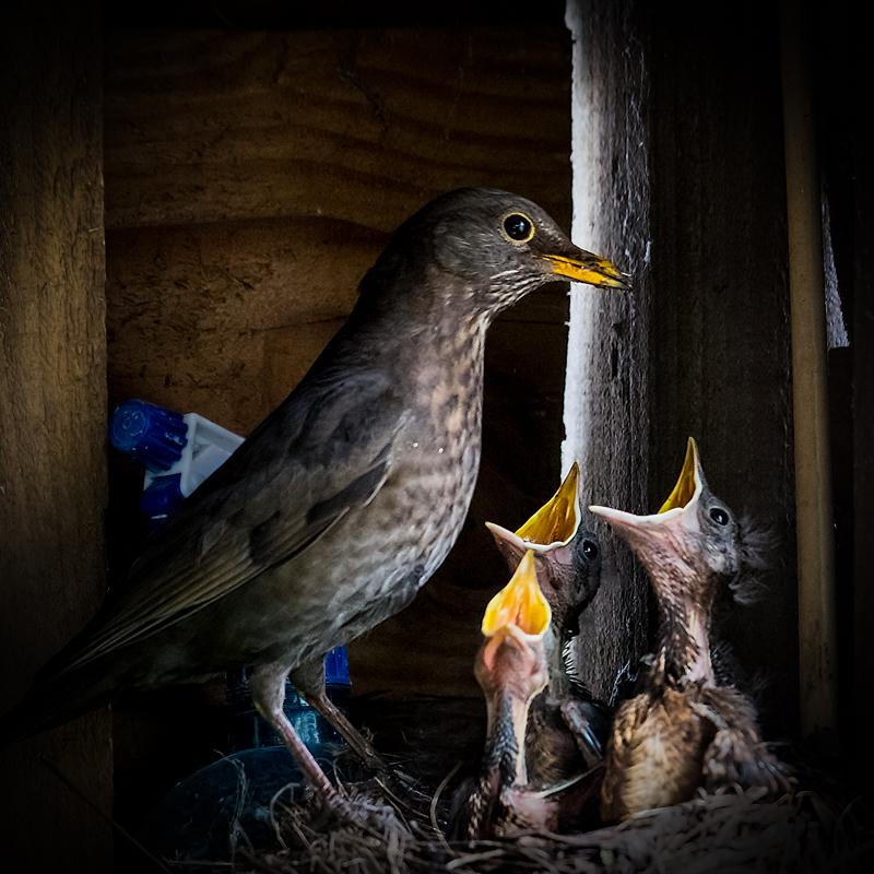female blackbird feeding young - Showcase