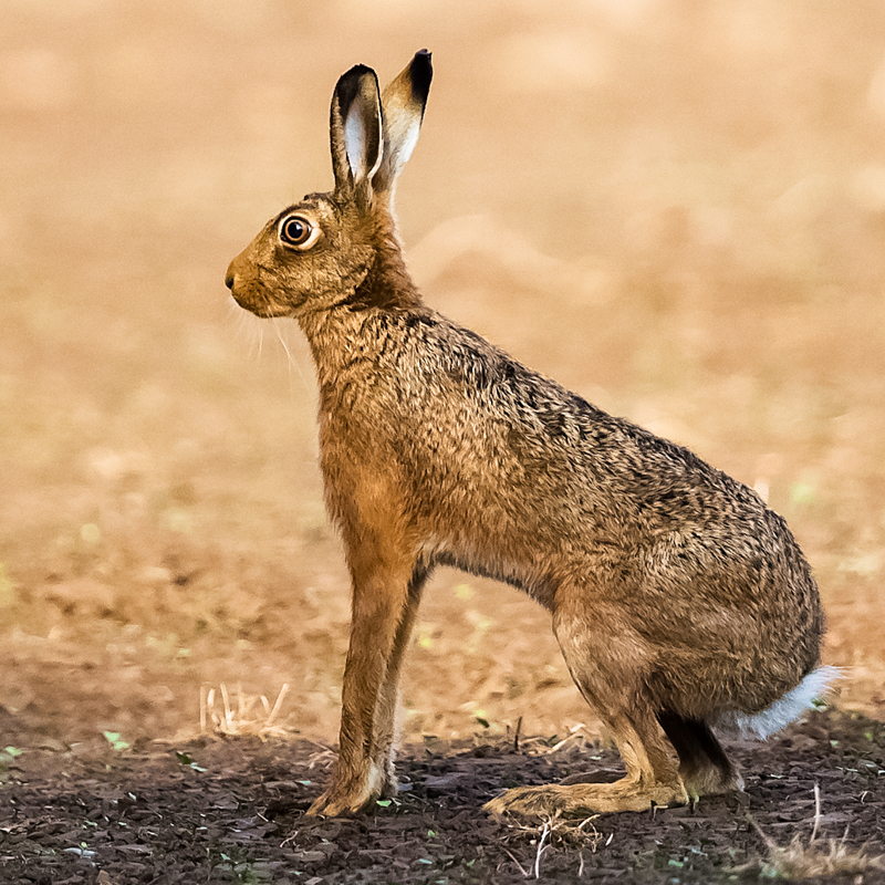 Hare in the dawn light - Hares