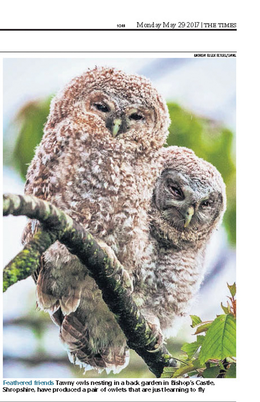 Tawny chicks in the Times - Media & Awards