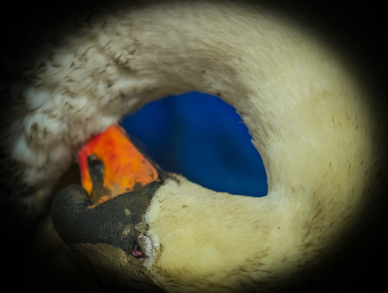 Dying swan after pylon impact - Cuan Wildlife Rescue
