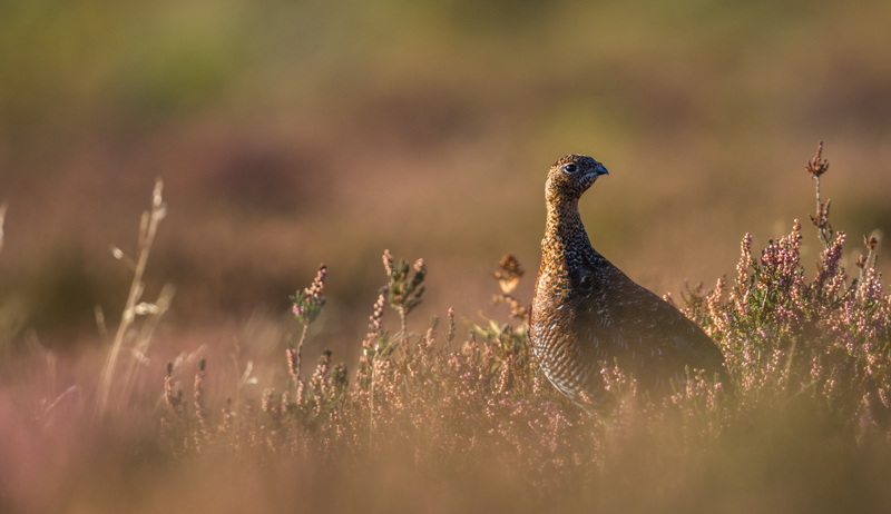Red Grouse in the Heather, Long Mynd - Wilderland, Wildlife & Wonder from the Shropshire Borders