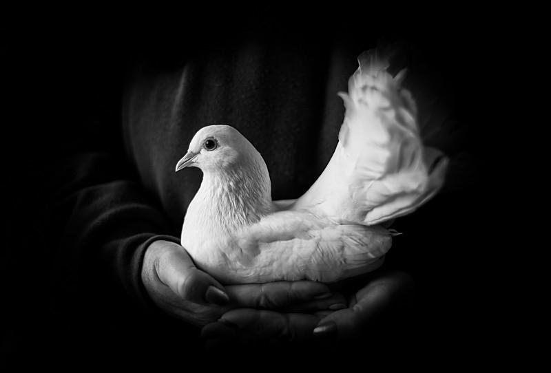 Cruelly clipped dove - Cuan Wildlife Rescue