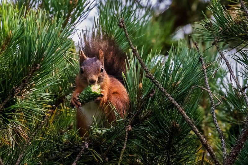 red squirrel feeding - Abroad