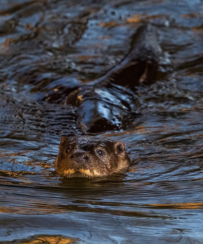 Otter at Low Town, Bridgnorth, River Severn - Wilderland, Wildlife & Wonder from the Shropshire Borders