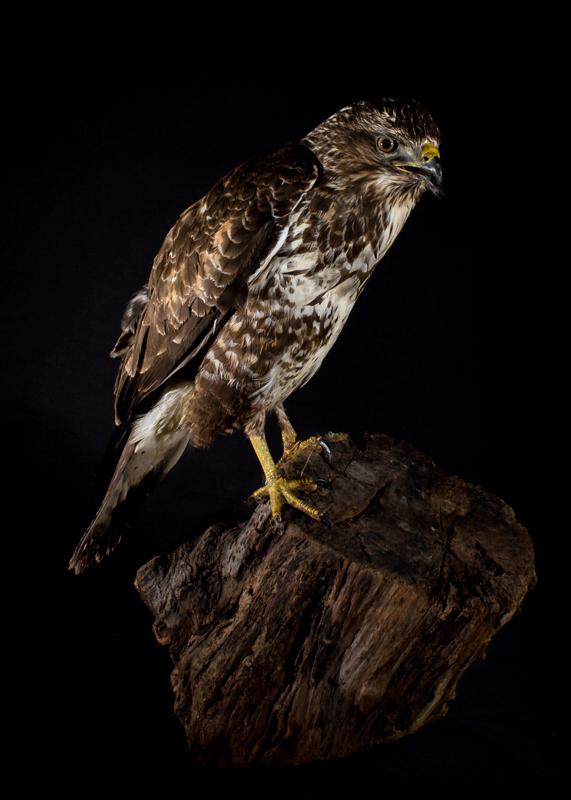 Buzzard portrait - Cuan Wildlife Rescue
