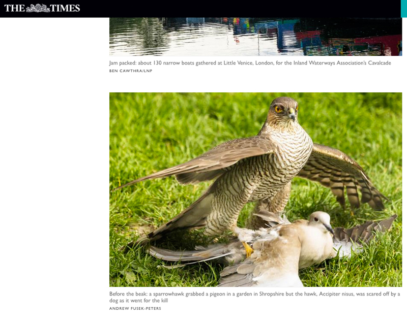 Sparrowhawk and Collared Dove Times Online - Media & Awards