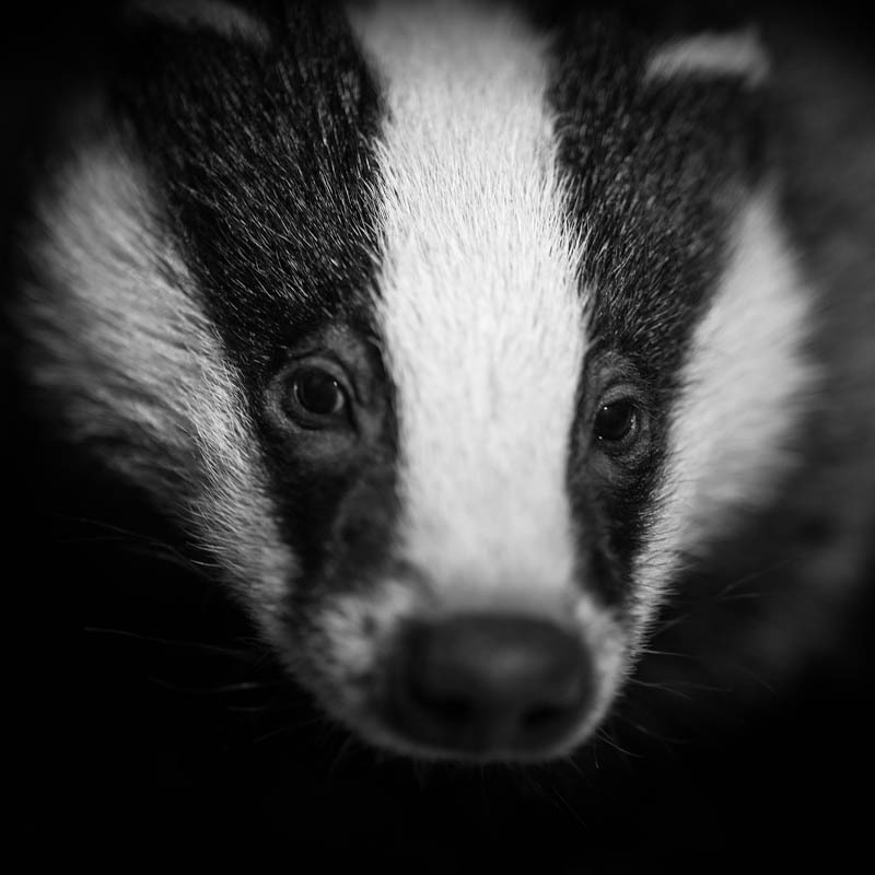 Orphan badger cub - Media & Awards
