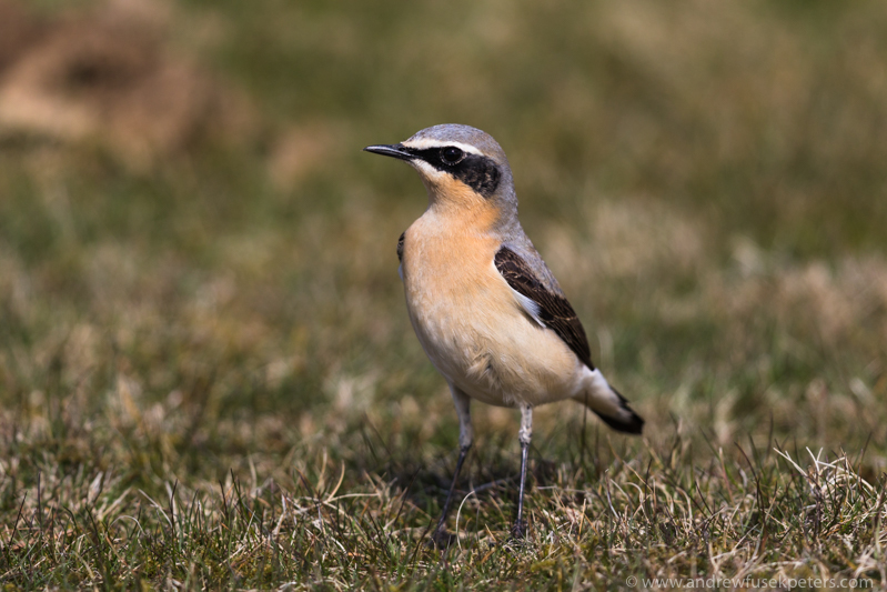 Wheatear, Long Mynd - Upland, Shropshire's Long Mynd & Stiperstones