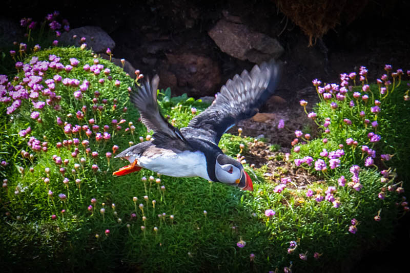 Puffin Flying Handa Island - Shetland and Scotland
