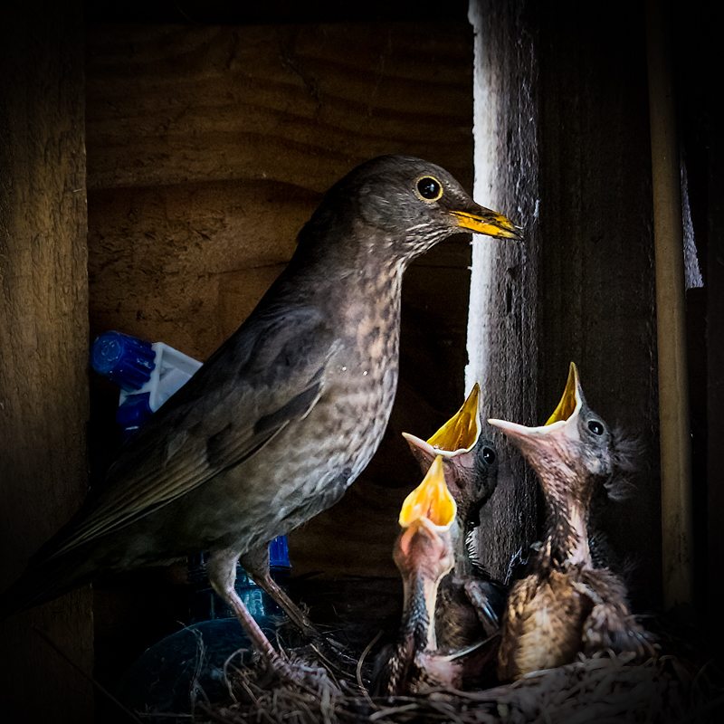 Blackbird mother and fledgelings - Media & Awards