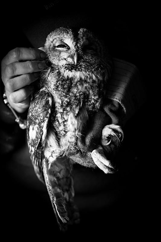 Tawny owl portrait - Cuan Wildlife Rescue