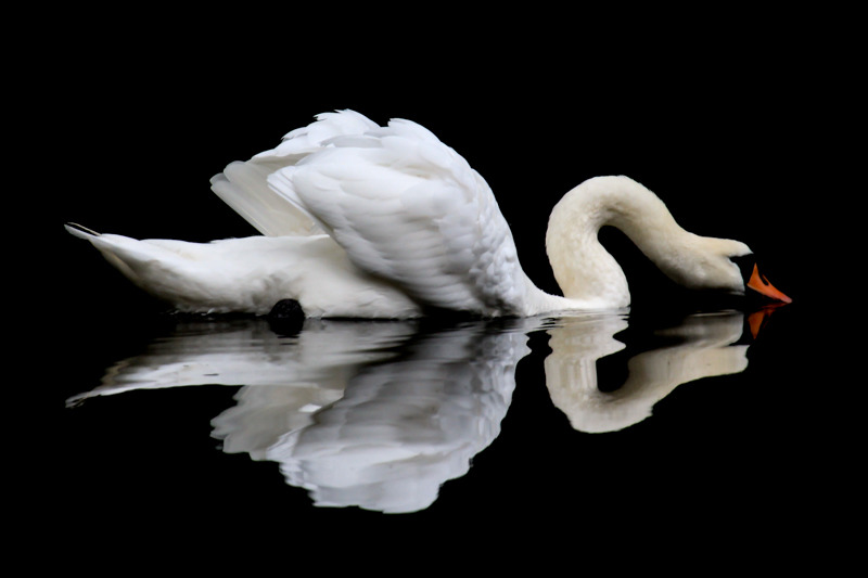 Swan at Walcot Lake - Wilderland, Wildlife & Wonder from the Shropshire Borders