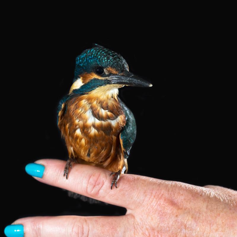 Kingfisher - Cuan Wildlife Rescue