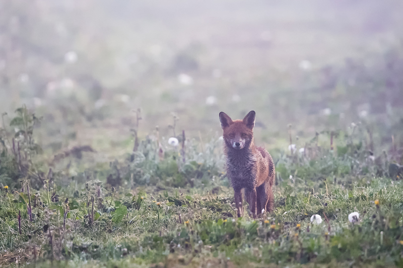 Fox at dawn Soulton Hall - Wilderland, Wildlife & Wonder from the Shropshire Borders