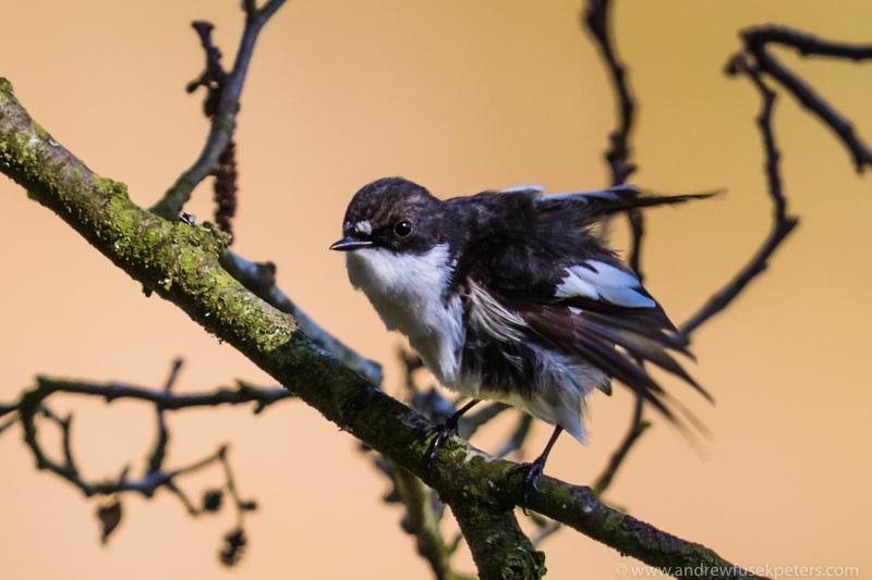Pied flycatcher, Bridges - Upland, Shropshire's Long Mynd & Stiperstones