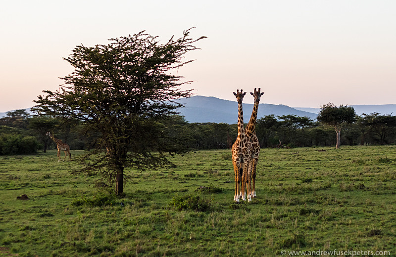 giraffes at sunset masai mara-1 - Abroad