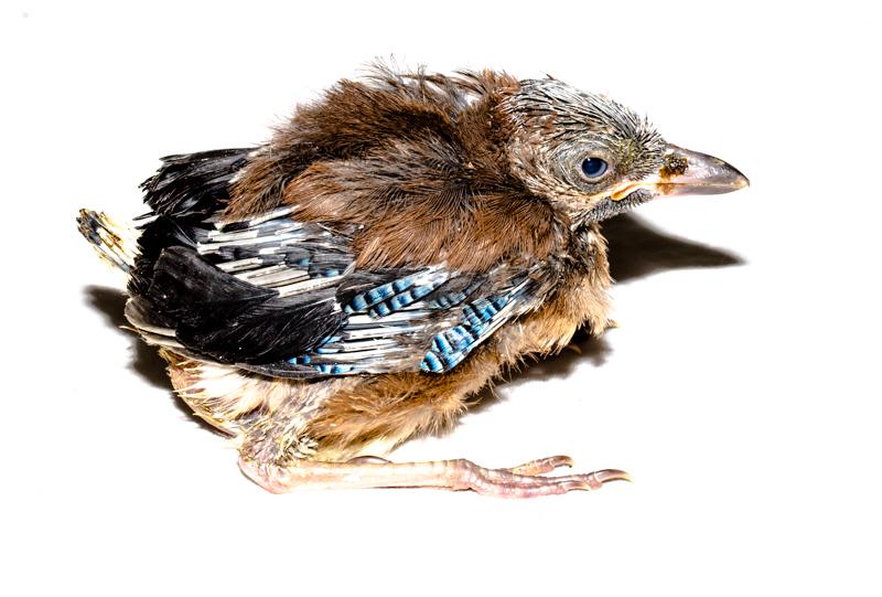 Jay fledgeling - Cuan Wildlife Rescue