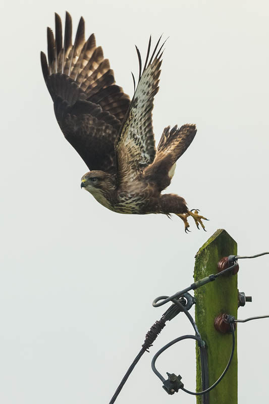 Buzzard, Shropshire - The Hill & Vale of Home