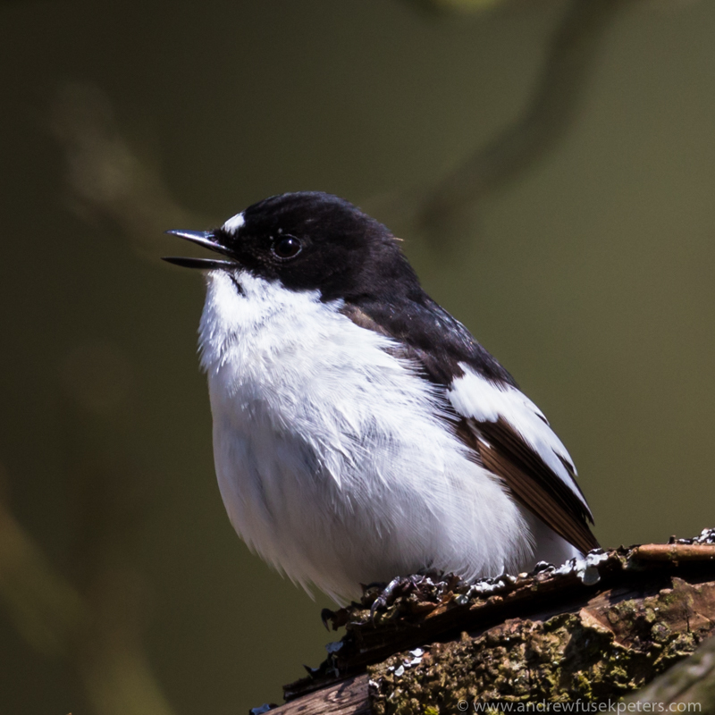 Pied Flycatcher, Long Mynd - Upland, Shropshire's Long Mynd & Stiperstones