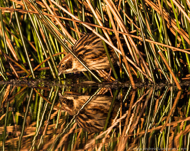 Reed Bunting at sunset, Long Mynd - Upland, Shropshire's Long Mynd & Stiperstones