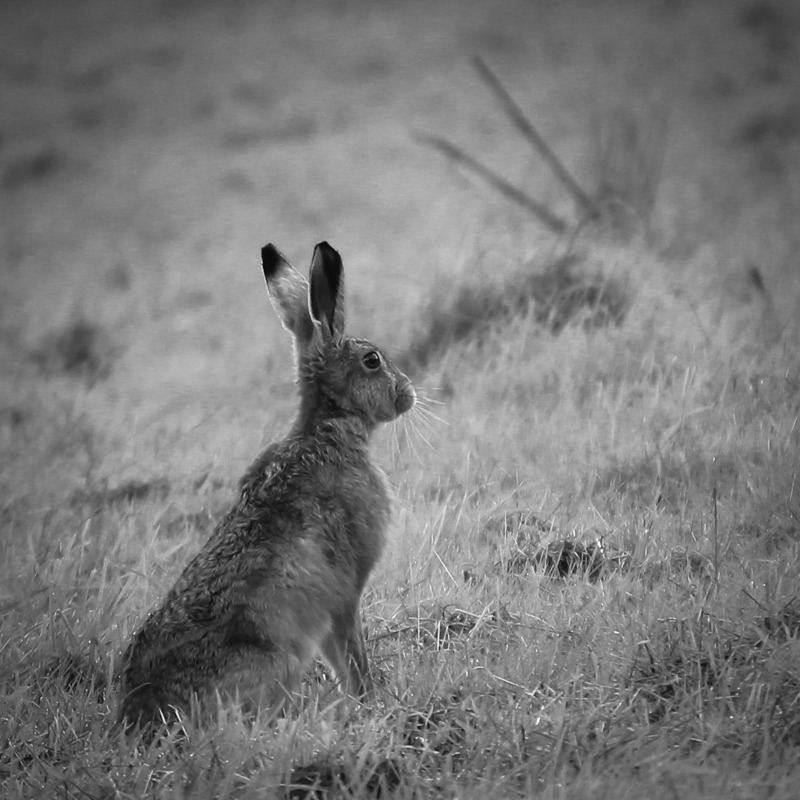 Hare - Hares