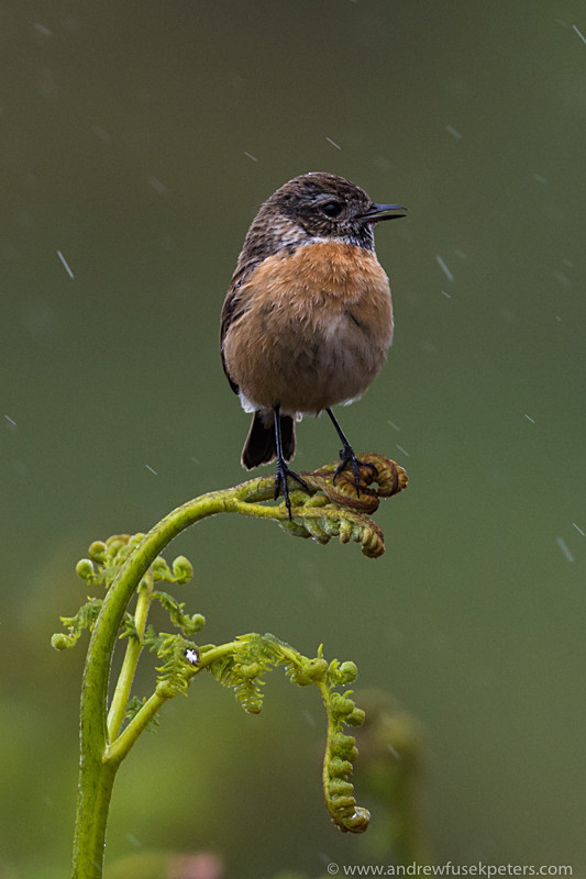 Stonechat, Long Mynd - Upland, Shropshire's Long Mynd & Stiperstones