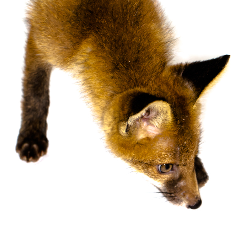 Fox - Cuan Wildlife Rescue