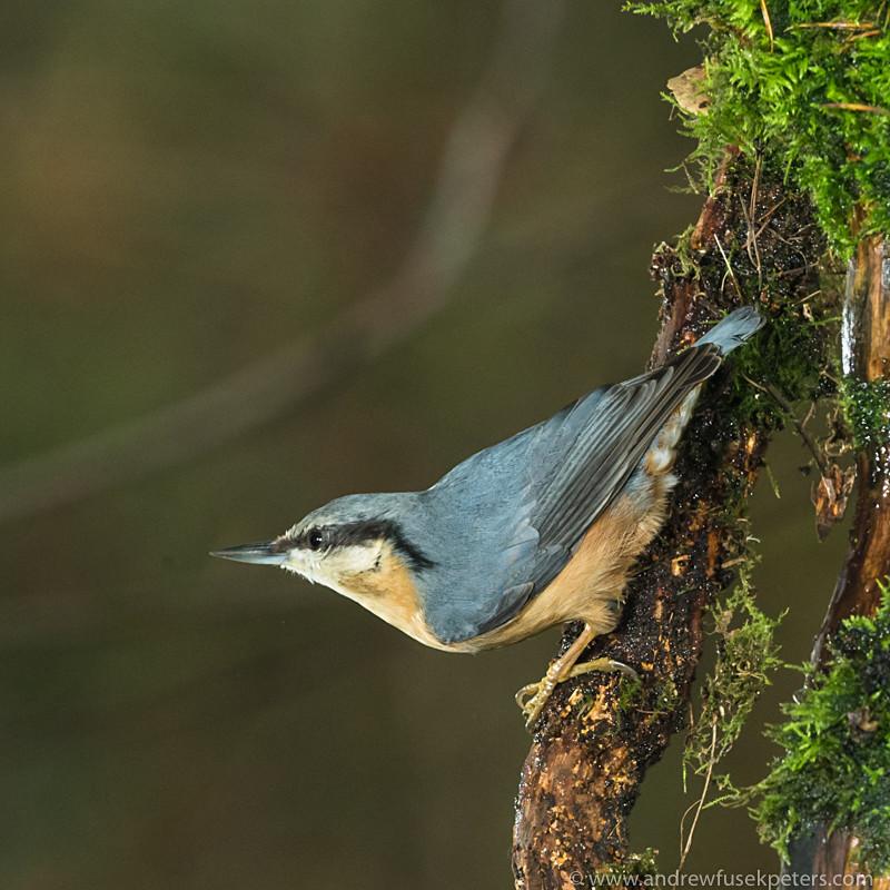 garden birds-3 - Garden Birds