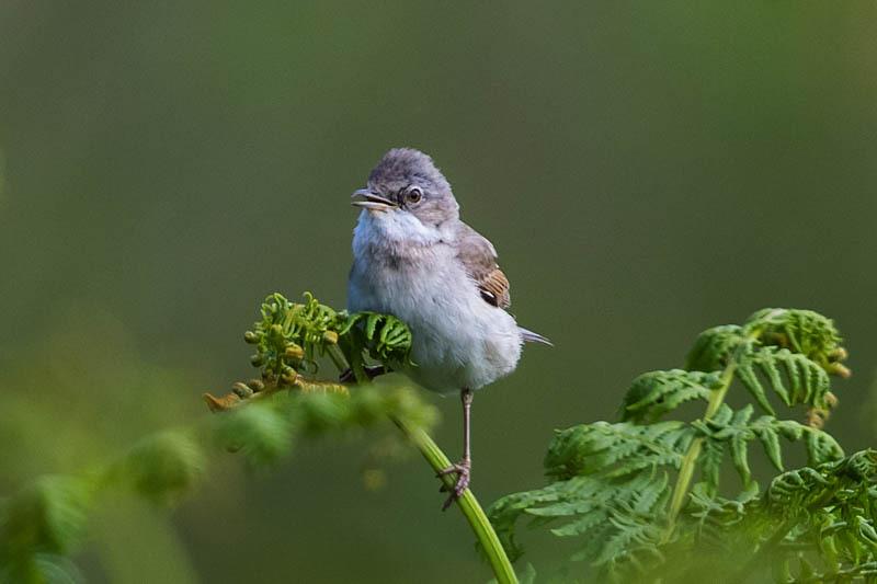 Whitethroat, Brook Vessons, Stiperstones - Wilderland, Wildlife & Wonder from the Shropshire Borders