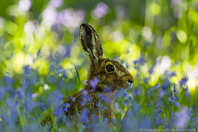 Hare in  the Bluebells, Springwatch - Media & Awards