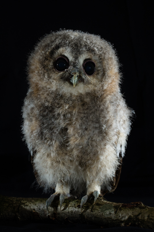 Tawny studio portrait - Cuan Wildlife Rescue