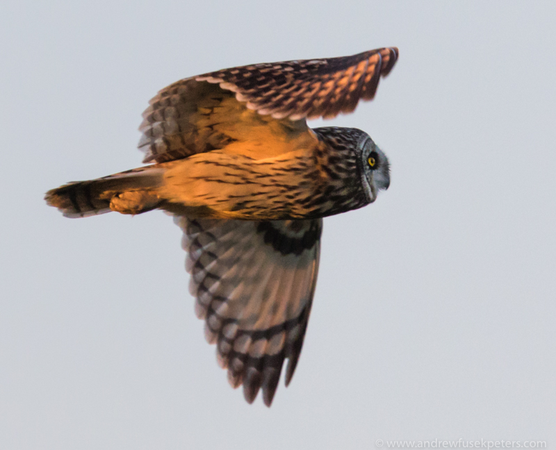 Short Eared Owl, Oakley Mynd - The Hill & Vale of Home