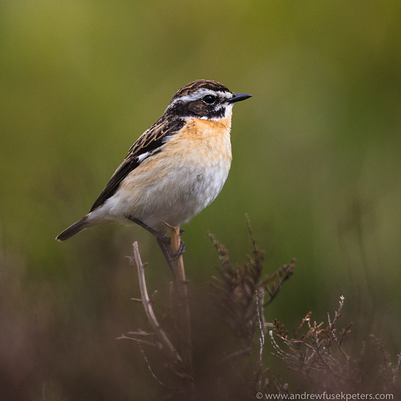 Whinchat Male, Long Mynd - Upland, Shropshire's Long Mynd & Stiperstones