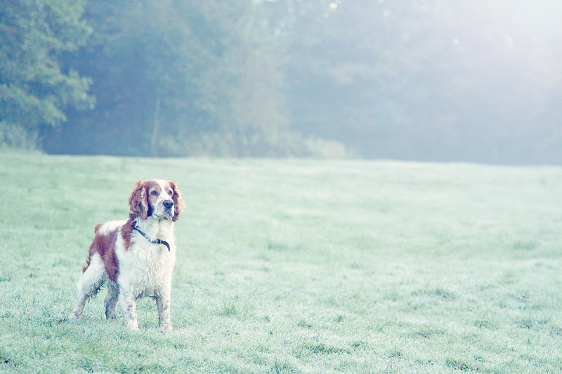 Welsh Springer Spaniel | Pet Photography | Sussex