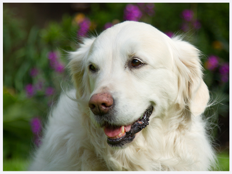 Golden Retriever | Classic Dog Photographs | East & West Sussex