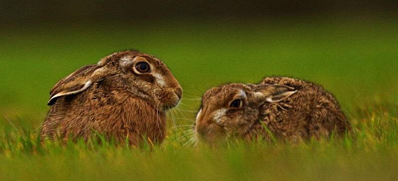 Brown Hares in the grass - Hares