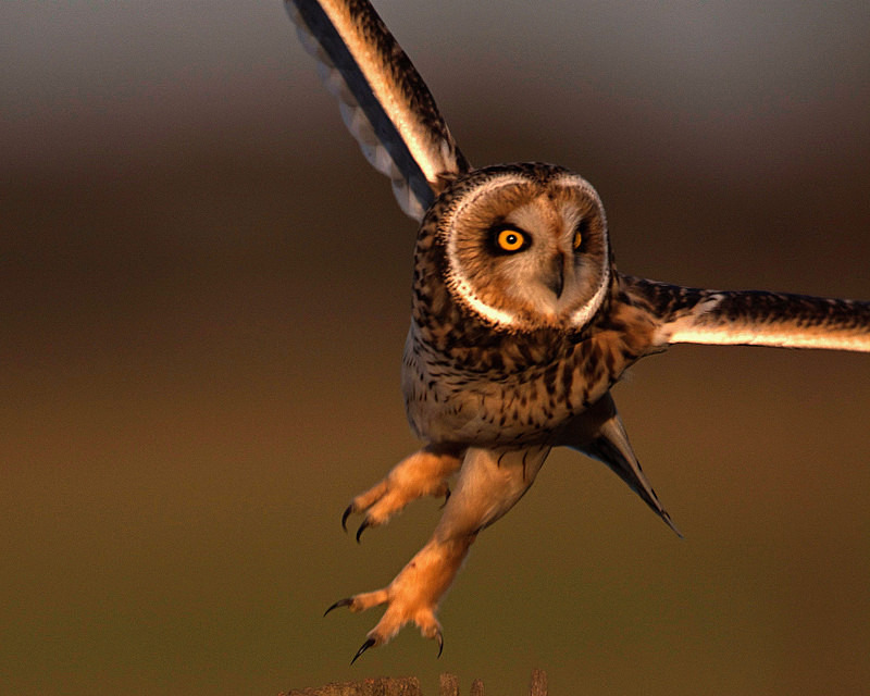 - Short Eared Owls