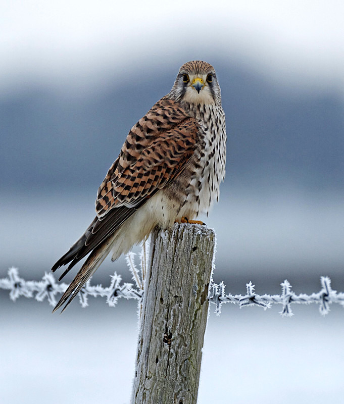 Kestrel perched on a post at Stow Maries Aerodrome wildlife photography Russell Savory