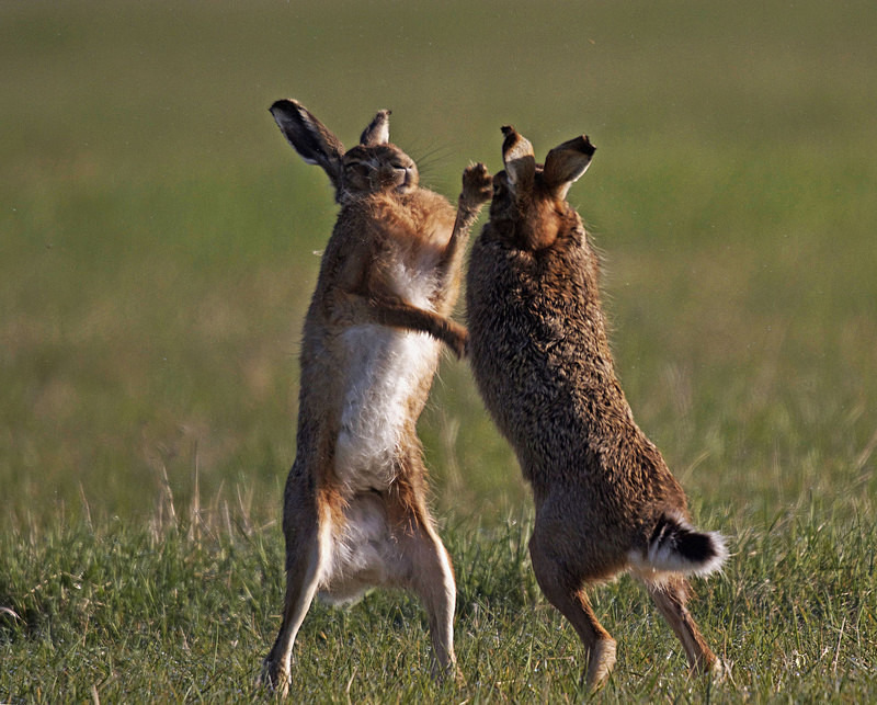 Hares boxing - Hares