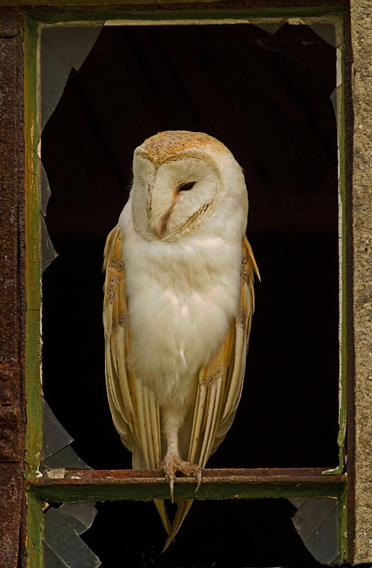 Barn Owl perched in the window - Barn Owls