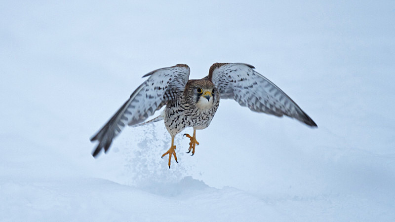 Kestrel taking off in the snow