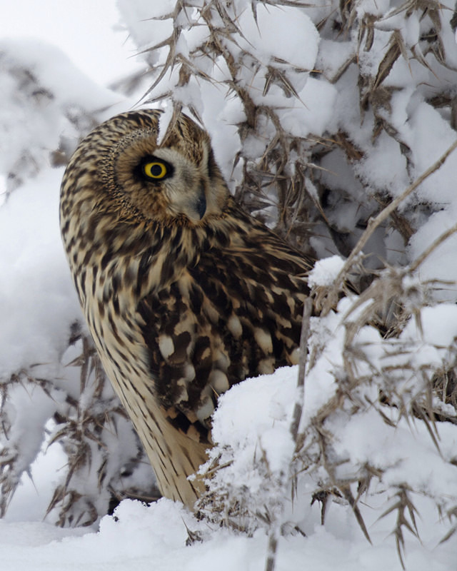 Short Eared Owl in the snow - Short Eared Owls