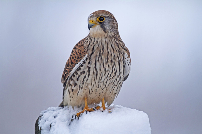 Kestrel in the snow on a fencepost