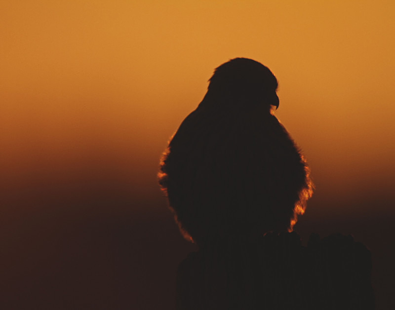 Kestrel in the Sunset