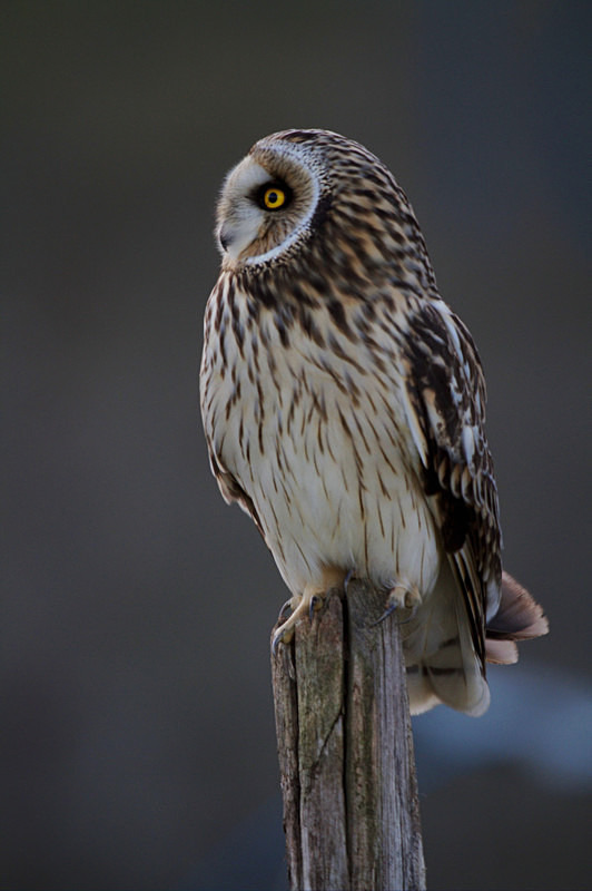 Short Eared Owl perched on a post - Short Eared Owls