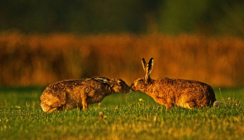 Brown Hares kissing - Hares